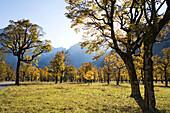 Autumn colours in the Eng, Maple, Acer pseudoplatanus, Grosser Ahornboden, Eng, Austria, Europe