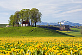 Chapel near Antdorf surrounded by a dandelion meadow, foothills of the Alps, Upper Bavaria, Germany