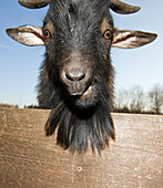 Domestic goat portrait , Capra hircus, Germany, Bavaria