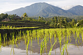 Rice fields, rice terraces in front of mountains, Bali, Indonesia