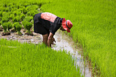 Balinese woman working on a rice field, Bali, Indonesia