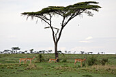 Impala Antelopes under a umbrella thorn acacia in Masai Mara, nature reserve and wild life reserve, Kenia, Africa