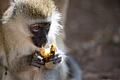 Monkey eating a fruit at Amboseli National Park, Kenya, Africa
