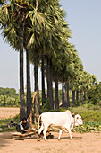 Burmese farmer working with an oxen at a millstone near Mount Popa, Myanmar, Burma