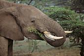 African Elephant (Loxodonta africana). Masai Mara Game Reserve, Kenya