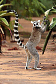 Ring-tailed lemur (Lemur catta), eating Aloe leaf, Berenty, southern Madagascar
