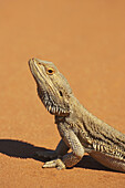Bearded Dragon  Pogona vitticeps, Outback New South Wales, Australia
