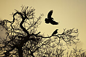 Animal, Animals, Bird, Birds, Color, Colour, Crow, Crows, Fauna, Flight, Flights, Fly, Flying, Nature, Ornithology, Raven, Ravens, Silhouette, Silhouettes, Tree, Trees, Wild, Wildlife, Zoology, F81-696376, agefotostock