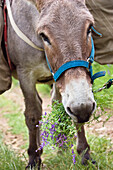 Donkey is eating a bundge of violett flowers in Equus asinus, Southern France