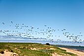 Geese, Wadden Sea, Amrum, Island, North Frisian Islands, Schleswig-Holstein, Germany