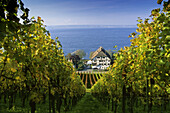 Vineyards at Lake Constance, Baden-Wurttemberg, Germany