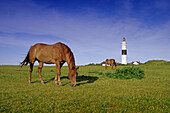 Horses grazing, lighthouse in background, Kampen, Sylt island, Schleswig-Holstein, Germany