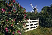 Dog roses and windmill under blue sky, Amrum island, North Friesland, Schleswig-Holstein, Germany