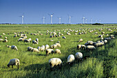 Flock of sheep grazing, wind turbines in background, Pilsum, East Friesia, Lower Saxony, Germany