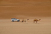 An all-terrain vehicle and two dromedaries in the sand of the desert, Wahiba Sands, Oman, Asia
