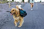 Dog with backpack, Oregon, USA