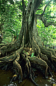 Roots and trunk of a mighty water chessnut at the rainforest, Island of Taveuni, Fiji, South Seas, Oceania