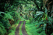 Deserted track through the thick rainforest, Island of Taveuni, Fiji, South Seas, Oceania