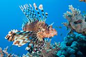 Lionfish, Pterois volitans, Daedalus Reef, Red Sea, Egypt