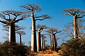 Grandidier's Baobab (Adansonia grandidieri). Morondava, West Madagascar