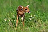 White-tailed Deer (Odocoileus virginianus), fawn