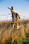 Dead coyote hanging from fence post. Kern County, California, USA