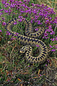 Adder (Vipera berus). In heather. UK. Venomous. Occurs over much of Europe extending north to beyond the Arctic Circle