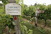 Willowcraft Farm Vineyards, winery, grape, vine, man, winemaker, pruning, sign, Cabernet Sauvignon. Leesburg. Virginia. USA.
