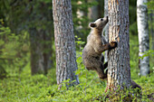 Animal, Animals, Ascending, Bear, Bears, Brown Bear, Brown Bears, Climb, Climbing, Color, Colour, Cub, Cubs, Daytime, exterior, Fauna, forest, forests, Go up, Going up, Mammal, Mammals, nature, One, One animal, outdoor, outdoors, outside, Pine, Pines, Pin
