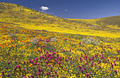 Wildflower meadow with California poppy (Eschscholzia californica) and Owl clovers, Antelope Valley, California, USA