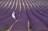 Girl in Lavender field, Plateau de Vaucluse, Sault, Provence, France.