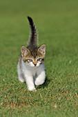 Kitten in meadow  Bavaria, Germany, Europe