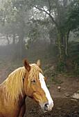 Horse.Puigsacalm mountainside. Olot. Garrotxa, Girona province, Spain.