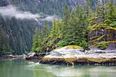 Conifers at the remote coastline of the Endicott Arm, Inside Passage, Southeast Alaska, USA