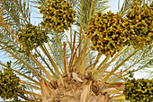 Date palm in the sunlight, Tozeur, Gouvernorat Tozeur, Tunisia, Africa
