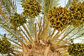 Dattelpalme im Sonnenlicht, Tozeur, Gouvernorat Tozeur, Tunesien, Afrika