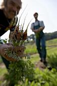 Farmer holding freshly carrots, biological dynamic (bio-dynamic) farming, Demeter, Lower Saxony, Germany