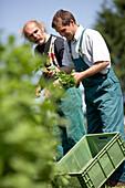 Farmer harvesting mint, biological dynamic (bio-dynamic) farming, Demeter, Lower Saxony, Germany