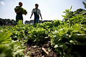 Farmers harvesting lettuce, biological dynamic (bio-dynamic) farming, Demeter, Lower Saxony, Germany