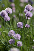Blooming french chive, biological dynamic (bio-dynamic) farming, Demeter, Lower Saxony, Germany