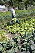 Farmer harvesting lettuce, biological dynamic (bio-dynamic) farming, Demeter, Lower Saxony, Germany