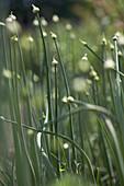 Blooming onions, biological dynamic (bio-dynamic) farming, Demeter, Lower Saxony, Germany