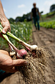 Farmer holding onions, biological dynamic (bio-dynamic) farming, Demeter, Lower Saxony, Germany