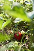 Ripe strawberries, biological dynamic (bio-dynamic) farming, Demeter, Lower Saxony, Germany