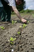 Farmer planting parsley, biological dynamic (bio-dynamic) farming, Demeter, Lower Saxony, Germany