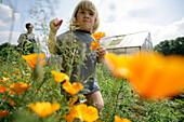 Boy picking California poppy (Eschscholzia californica), biological dynamic (bio-dynamic) farming, Demeter, Lower Saxony, Germany