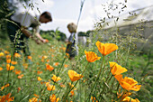 Father and son picking California poppy (Eschscholzia californica), biological dynamic (bio-dynamic) farming, Demeter, Lower Saxony, Germany