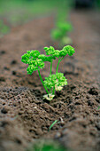 Parsley seedlings, biological dynamic (bio-dynamic) farming, Demeter, Lower Saxony, Germany