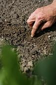 Sprouts, biological dynamic (bio-dynamic) farming, Demeter, Lower Saxony, Germany