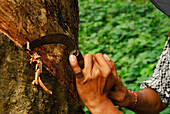 Man working on a rubber tree with a knife, West Bali, Indonesia, Asia